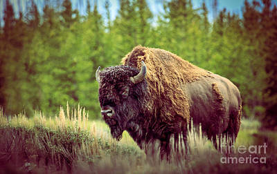 Buffalo Photograph - Big Daddy by Robert Bales