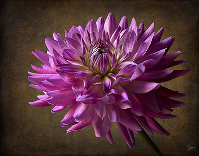 Photograph - Big Dahlia by Endre Balogh