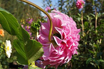 Photograph - Big Dahlia Flower Fine Art Photography by Baslee Troutman Floral Fine Art