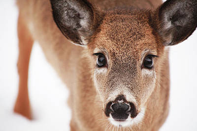 Photograph - Big Deer Eyes by Karol Livote