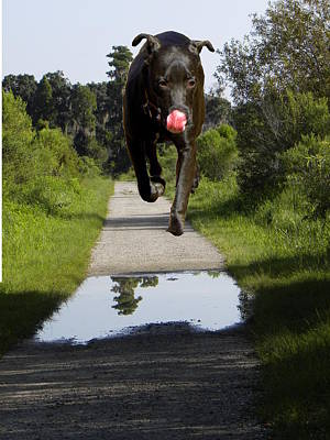 Dog Trots Photograph - Big Dog On Heron Hideout Trail by Chris Mercer