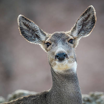 Photograph - Big Eared Mule Deer by Paul Freidlund