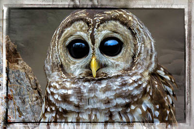 Photograph - Big Eyed Barred Owl by LeeAnn McLaneGoetz McLaneGoetzStudioLLCcom