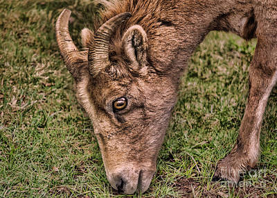 Photograph - Big Eyes, Small Horns by Janice Rae Pariza