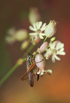 Photograph - Big Grasshopper On White Flowers by Jaroslaw Blaminsky
