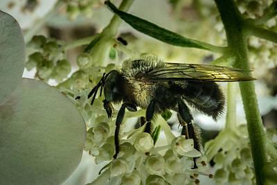 Apocrita Photograph - Big Hairy Bee by Douglas Barnett