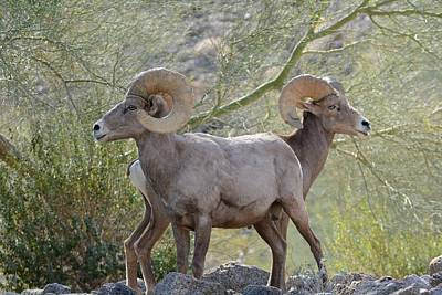 Photograph - Big Horn Duo by Fraida Gutovich