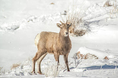 Photograph - Big-horn Ewe In Deep Snow by Yeates Photography
