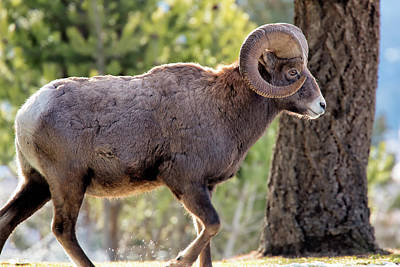 Photograph - Big Horn Ram by David Buhler