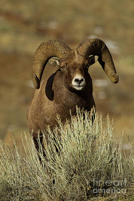 Photograph - Big Horn Ram-signed-#4031 by J L Woody Wooden