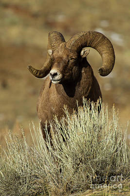 Photograph - Big Horn Ram-signed-#4041 by J L Woody Wooden