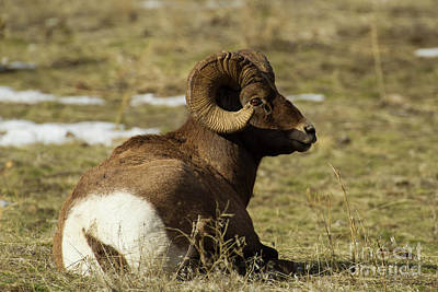 Photograph - Big Horn Ram-signed-#4073 by J L Woody Wooden