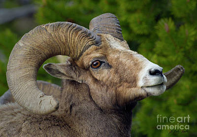 Photograph - Big Horn Ram-signed-#5388 by J L Woody Wooden