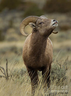 Sheep - Big Horn Ram-Signed-#7759 by J L Woody Wooden