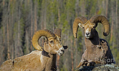 Photograph - Big Horn Rams Molting-signed-#6000 by J L Woody Wooden