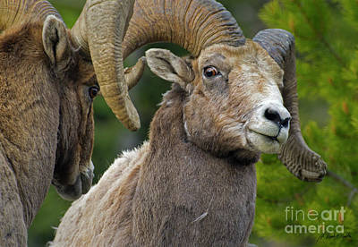 Photograph - Big Horn Rams-signed-#5395 by J L Woody Wooden