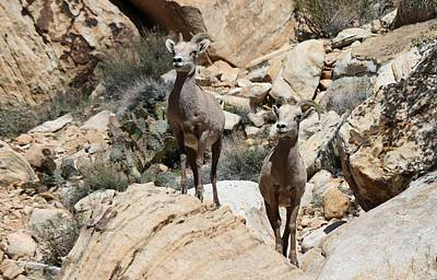 Photograph - Big Horn Sheep - 2  by Christy Pooschke
