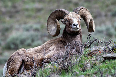 Photograph - Big Horn Sheep #3 by Scott Read