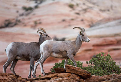 Photograph - Big Horn Sheep At Zion by Gordon Ripley