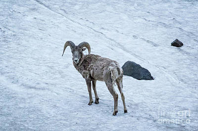 Photograph - Big Horn Sheep  by Brandon Bonafede