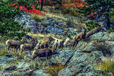 Photograph - Big Horn Sheep - Close-up by Marilyn Burton