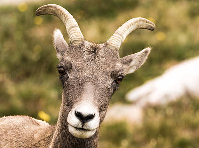Big Horn Sheep Photograph - Big Horn Sheep Closeup by Mindy Musick King