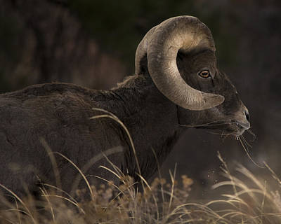 Photograph - Big Horn Sheep by Erica Kinsella