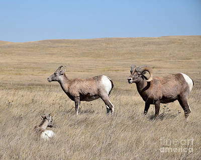 Photograph - Big Horn Sheep Family by Kathy M Krause