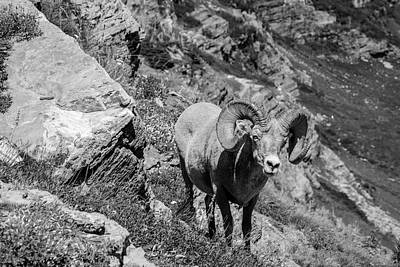 Photograph - Big Horn Sheep Glacier National Park by John McGraw