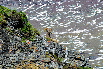 Photograph - Big Horn Sheep, Glacier National Park by Marilyn Burton
