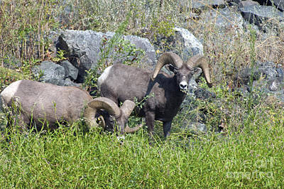 Photograph - Big Horn Sheep Hells Canyon Id by Cindy Murphy - NightVisions