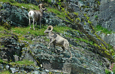 Photograph - Big Horn Sheep In Glacier Np by Cindy Murphy - NightVisions