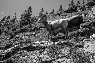 Photograph - Big Horn Sheep In Glacier Standing Tall by John McGraw