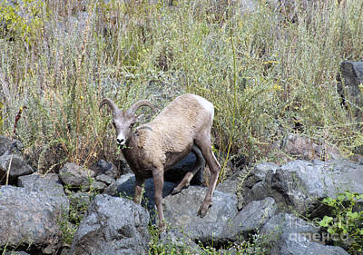 Photograph - Big Horn Sheep In Hells Canyon Id by Cindy Murphy - NightVisions
