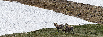 Photograph - Big Horn Sheep In The High Elevation by James BO  Insogna