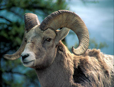 Photograph - Big Horn Sheep by Inge Riis McDonald