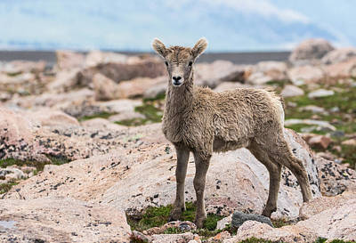 Big Horn Sheep Photograph - Big Horn Sheep Lamb #5 by Mindy Musick King