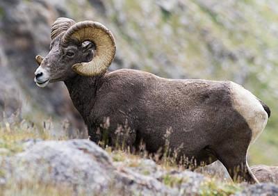Big Horn Sheep Photograph - Big Horn Sheep On The Alpine Tundra #1 by Mindy Musick King