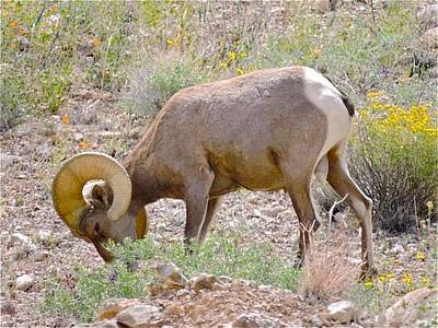 Photograph - Big Horn Sheep by Patricia Haynes
