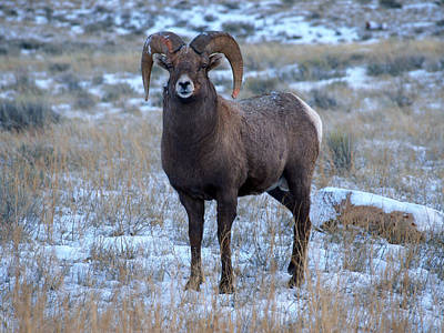 Photograph - Big Horn Sheep Ram by DeeLon Merritt