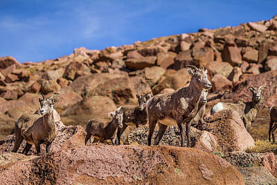 Photograph - Big Horn Sheep by Ron Pate
