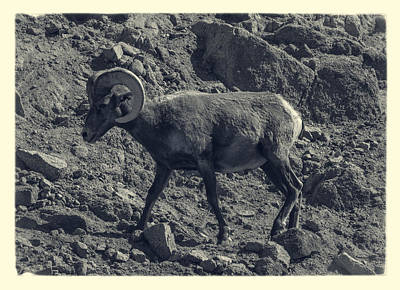 Photograph - Big Horn Sheep by Sandra Selle Rodriguez