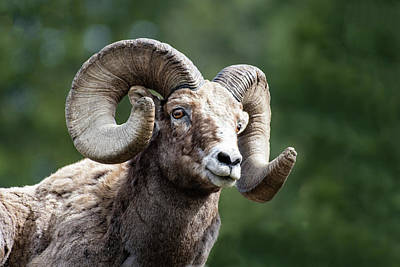 Photograph - Big Horn Sheep by Scott Read