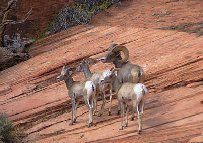 Photograph - Big Horn Sheep, Zion National Park by Michael Balen