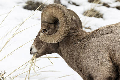 Photograph - Big Horn Snacking In The Snow by Mark Harrington