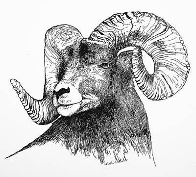 Drawing - Big Horned Sheep by E Colin Williams ARCA