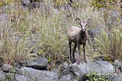 Photograph - Big Horns In Hells Canyon Id by Cindy Murphy - NightVisions