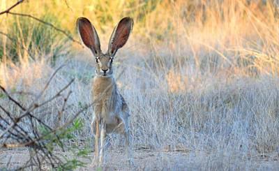 Desert Jackrabbit Photograph - Big Jack by Brent Hall