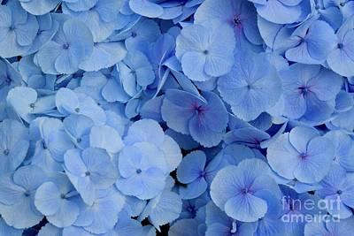 Photograph - Big Leaf Blue Hydrangea  by Jeannie Rhode