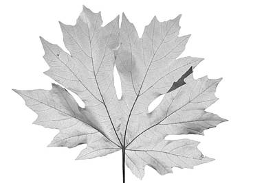 Photograph - Big Leaf Maple by Frank Wilson